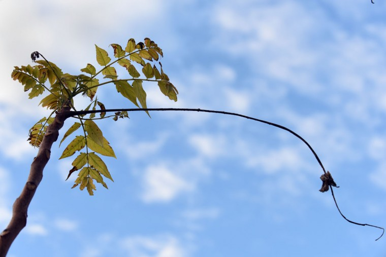 The last leaves cling to a tree at Loch Raven Reservoir. (Barbara Haddock Taylor/Baltimore Sun)