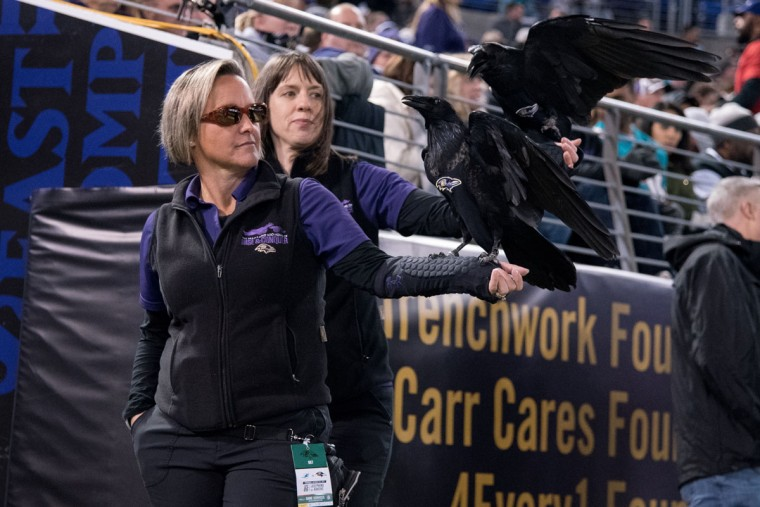 Didn't expect to see actual live birds on the sidelines of a Ravens game. Unfortunately I couldn't find a single dolphin. (Ulysses Munoz/Baltimore Sun)