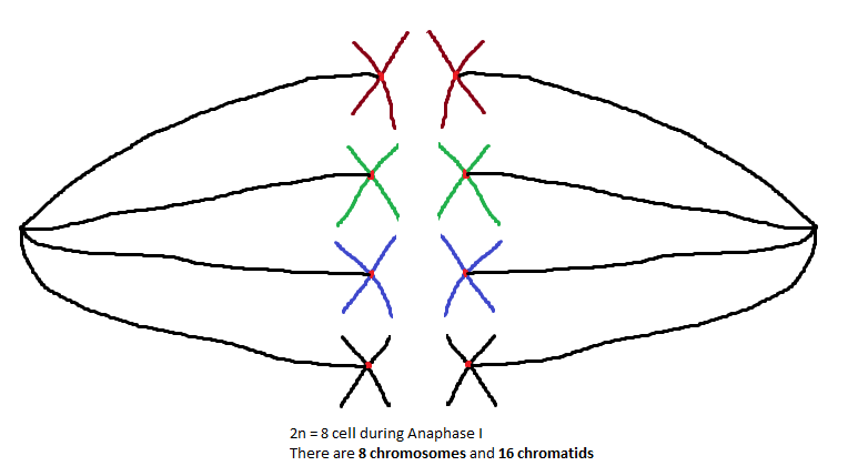 As You Can See The Separation Of Homologous Chromosomes Does Not Change Chromosome Number Or Chromatid There Are Still 8 And 16