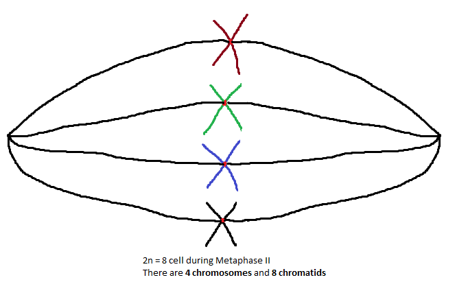 Chromosome and chromatid numbers during mitosis and meiosis dat during metaphase ii the chromosomes are lined up individually across the center of the cell due to the reduction division of meiosis i there are now half ccuart