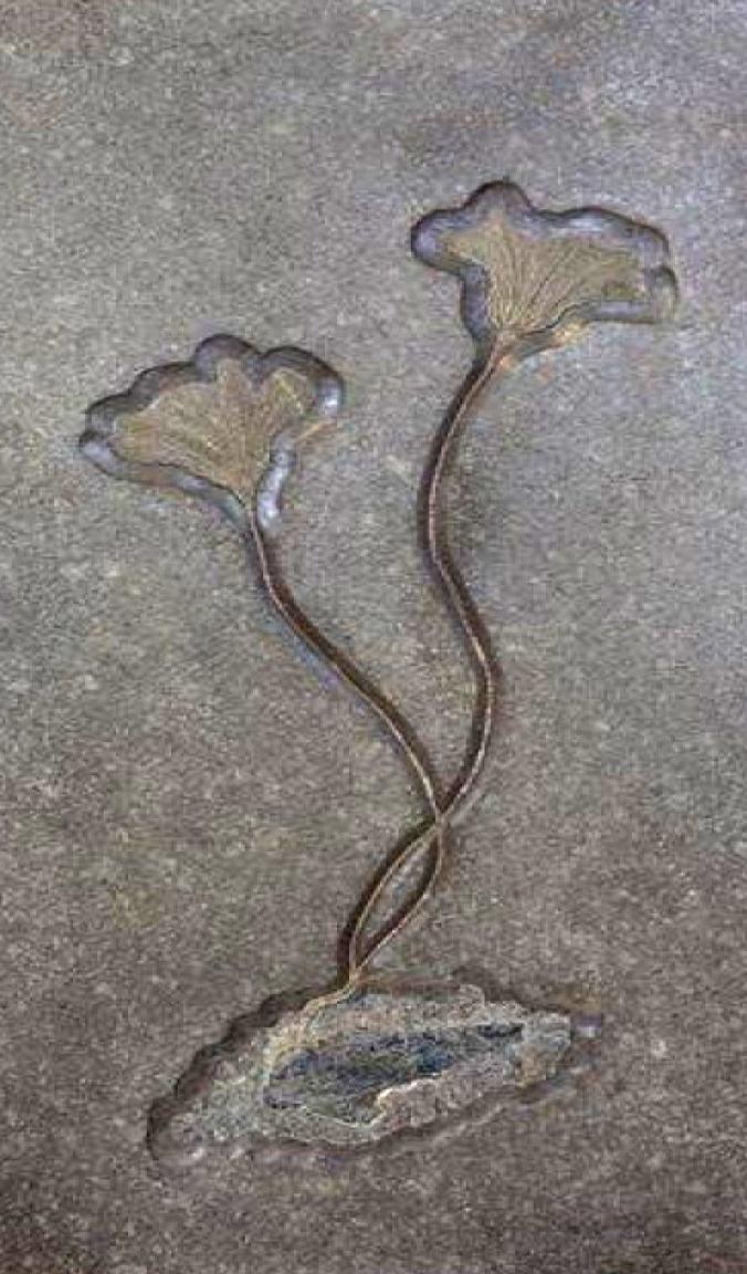 LILY FOSSIL