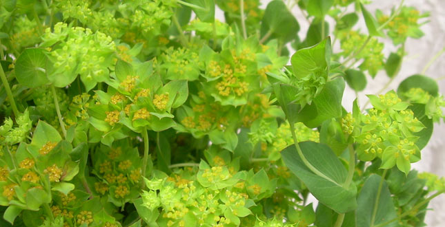 Bupleurum: samenstelling van natuurlijke planten om de leverzuivering te stimuleren