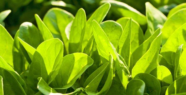 alfa liponzuur in spinazie