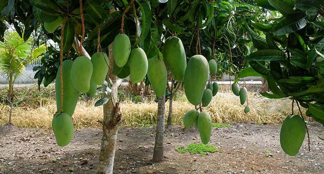 De voordelen van het eten van mango's