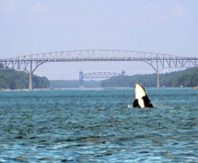 Orca breaches in c d canal delaware surf for Delaware surf fishing