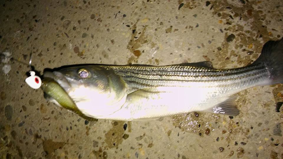 striped bass, iri, indian river inlet, delaware, sussex county, linesider, rockfish, fishing report