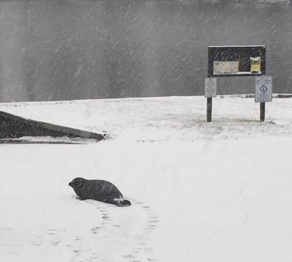 seal at courseys pond, delaware, milford, kennt county, merr, storm helena 2017, snowshizzle