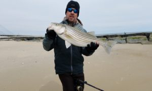 striped bass, rockfish, delaware, sussex county, rockfish, indian river inlet