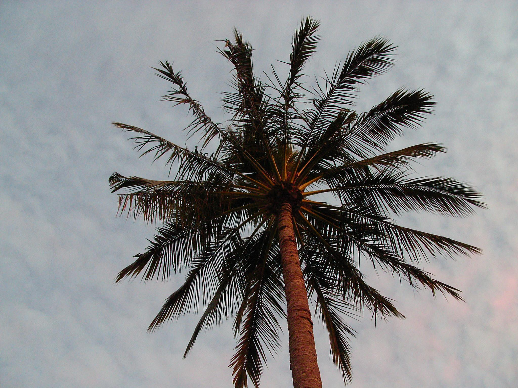 Sky Palm