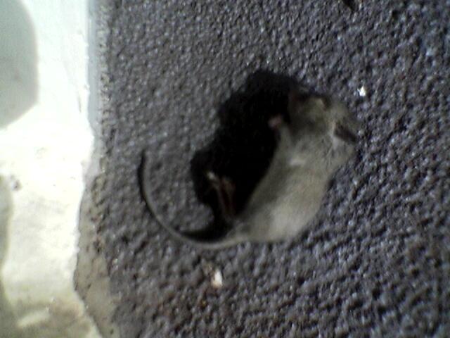 Dead Mouse