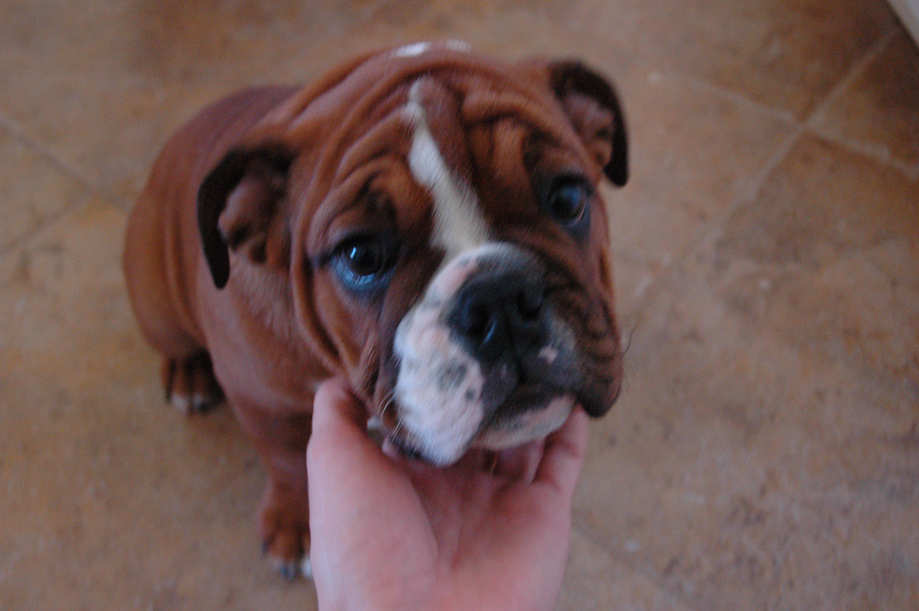 Achilles, The Incredibly Cute Bulldog