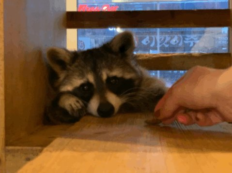 Snack time for this #raccoon…