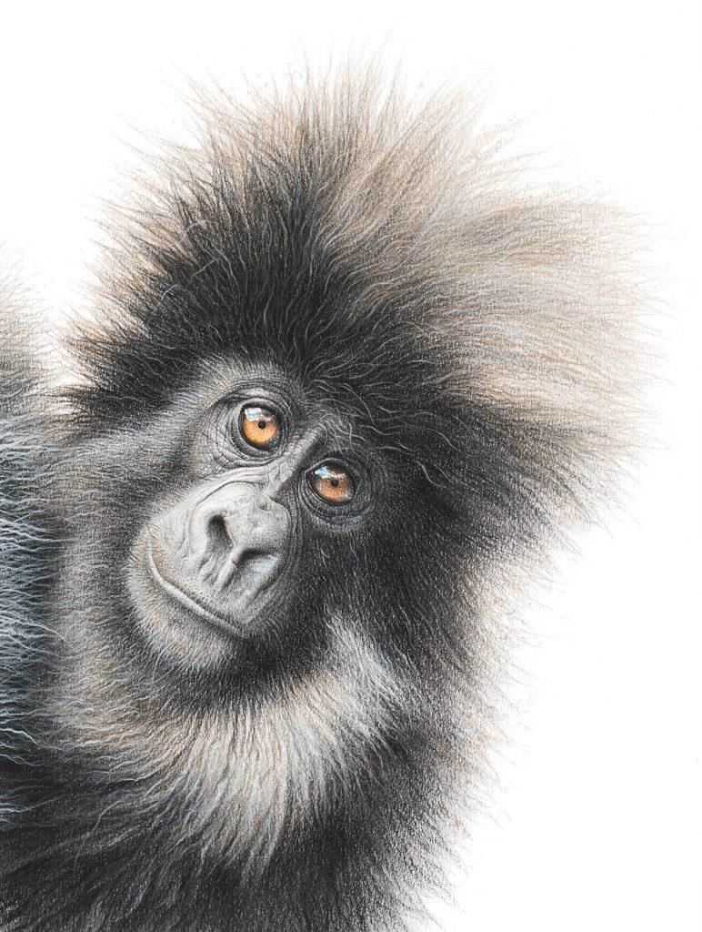 Pastel pencil drawing of a young mountain gorilla by Martin Aveling