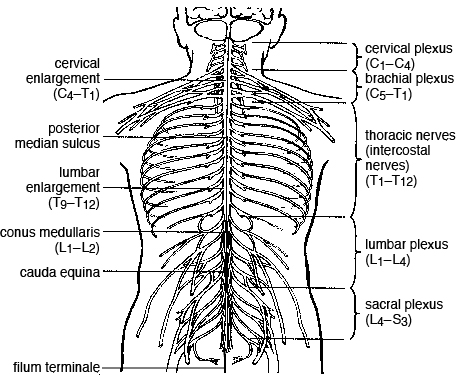 The Spinal Cord If an accident during surgery were to occur and there was significant damage to the gray commissure of. the spinal cord