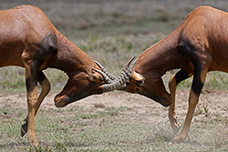 A photo of two fighting Topis (antelopes) head-butt each other, locking horns, in a grassy field.