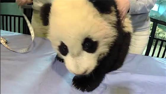Hands holding the National Zoo's baby panda on a table. Photo: National Zoo.