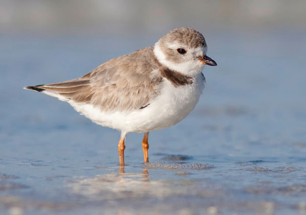 Piping Plover standing in the surf
