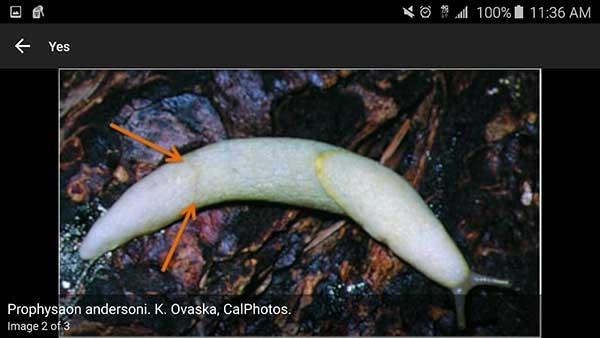 Screencapture from the Terrestrial Mollusc Key app, a slug with arrows indicating constricted tail