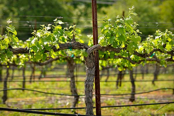 Rows of vines at a Napa Valley vineyard in spring