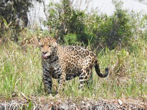 Visit pantanal in Brazil