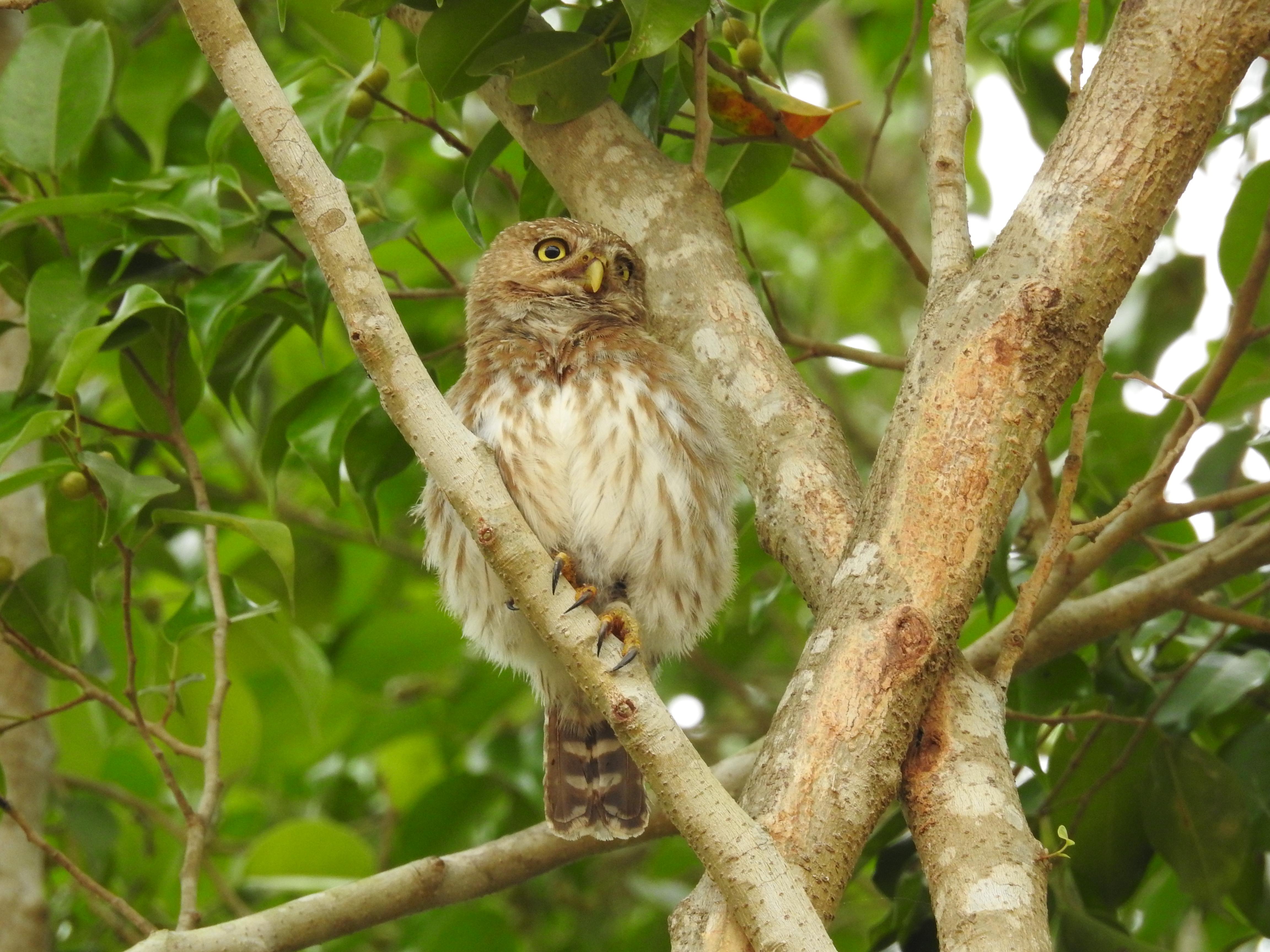 Pantanal Travels Pygmy Owl