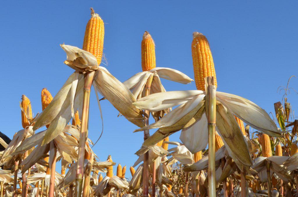 Para a safra 20/21 o volume de milho negociado em Mato Grosso é de 62,69%, conforme o Instituto Mato-Grossense de Economia Agropecuária.