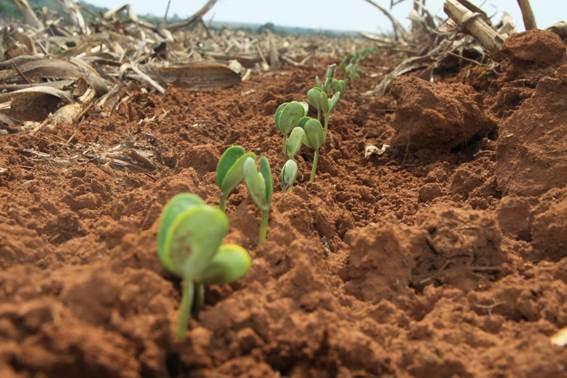 Os agricultores estão confiantes com a próxima de soja em Mato Grosso. As lavouras começam a ser plantadas após o dia 15 de setembro.