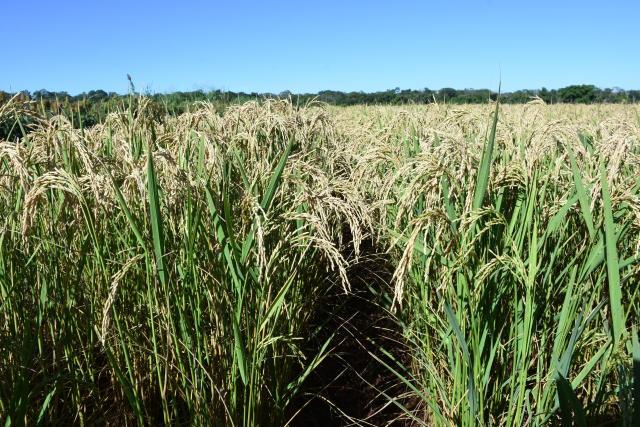 O plantio do arroz está avançado no município de Água Boa - MT, com mais de 60% das lavouras destinadas ao cereal já plantadas.