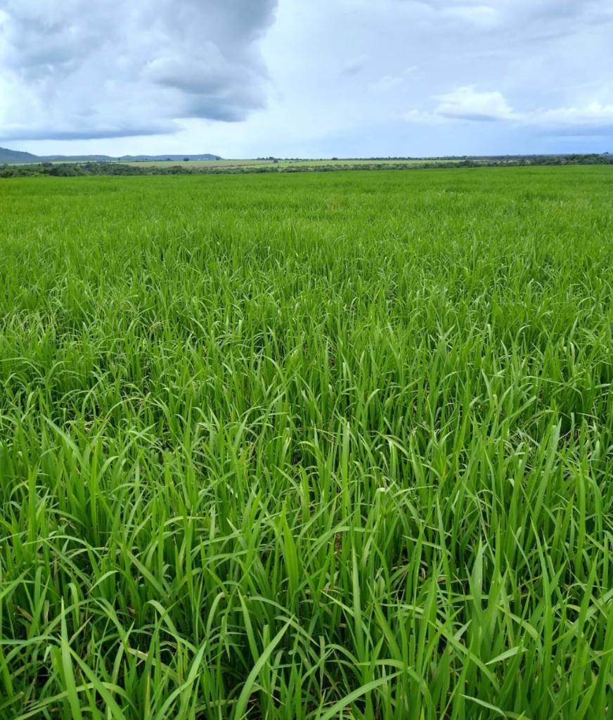 O Médio Araguaia já foi uma das maiores produtoras de arroz do Brasil, mas aos poucos a cultura foi perdendo espaço.
