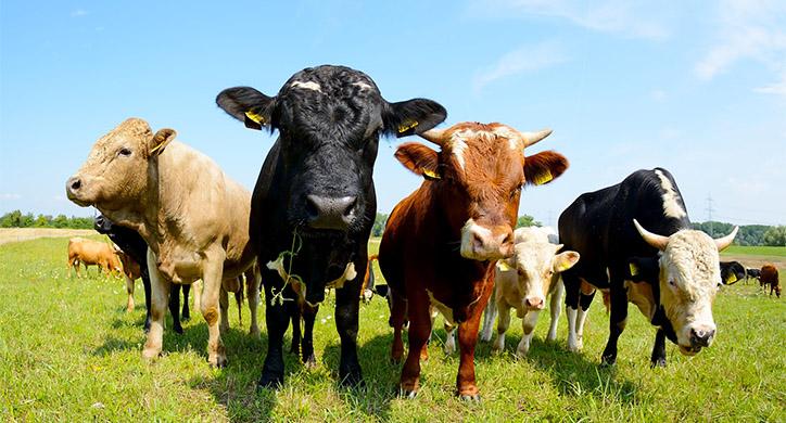 Grass or Grain, Beef is Beef