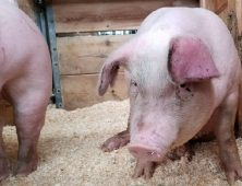 The African Swine Fever Epidemic: Are We at Risk?