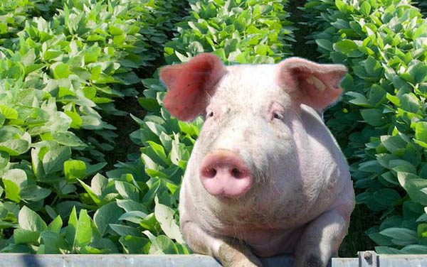 In the News: China Trade on Soybeans and Pork