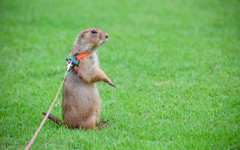 Pet Prairie Dog No Longer Fearful And On Edge After Trapped Emotions Are Cleared