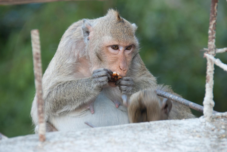 A macaque, not a bat