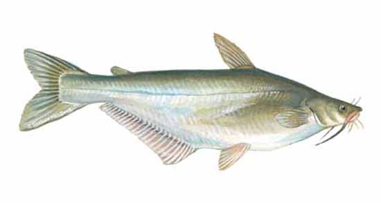 Swai fish related keywords swai fish long tail keywords for What is swai fish