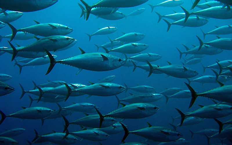 Global tuna stocks' health improves, total catch falls