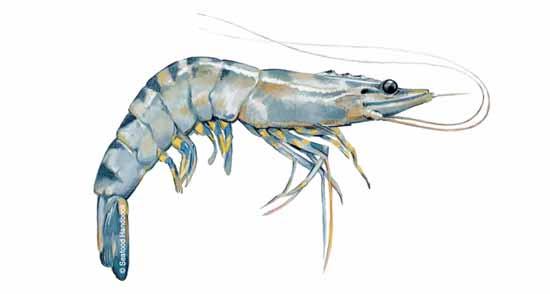 Shrimp, Black Tiger