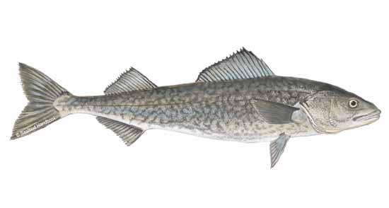 Sablefish for Sable s smoked fish