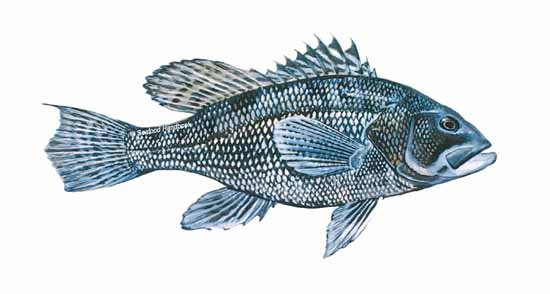 Commercial striped bass fish prices