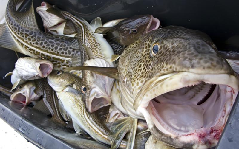 Report: Global warming putting Scottish whitefish at risk
