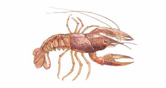 Natural Redclaw Crayfish Natural Food Source