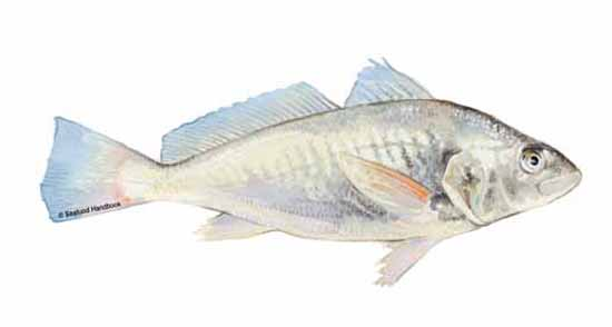 Croaker for What is a croaker fish