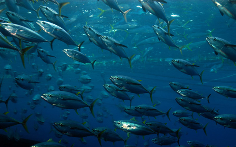Global tuna stocks' health continue to decline
