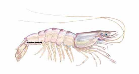 Shrimp, Gulf