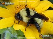 Golden northern bumblebee on yellow flower
