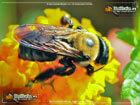 Eastern Carpenter bee on yellow flower