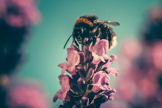 honey bee on pink flower