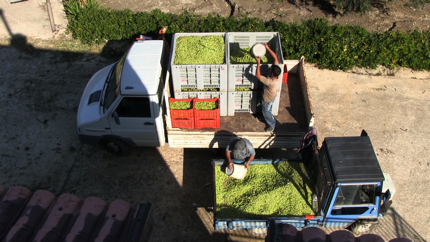 Two men loading a truck with olives
