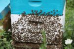 5 tips for mitigating the honey bee crisis—and urban bee keeping is not the answer