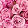 Thumb pink roses